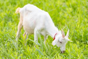 ヤギによる除草 Goats Clearing Weedsの写真素材 [FYI04570372]