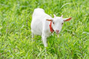 ヤギによる除草 Goats Clearing Weedsの写真素材 [FYI04570373]