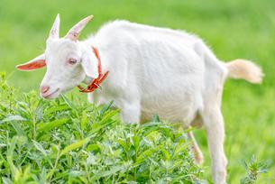 ヤギによる除草 Goats Clearing Weedsの写真素材 [FYI04570375]