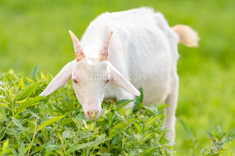 ヤギによる除草 Goats Clearing Weedsの写真素材 [FYI04570376]