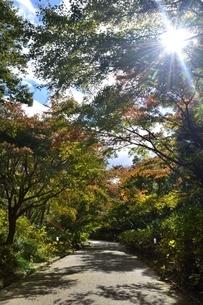 神戸市立森林植物園,逆光と紅葉の山道の写真素材 [FYI04570558]