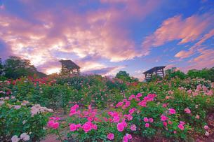 信州国際音楽村のバラ園と夕焼けの写真素材 [FYI04570735]