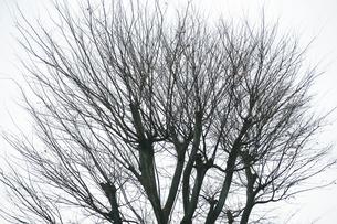 寒空にケヤキの裸木の写真素材 [FYI04571227]