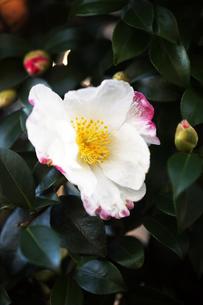 一重咲きの山茶花の写真素材 [FYI04571238]