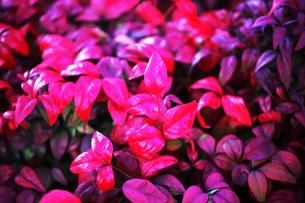 オタフクナンテンの紅葉の写真素材 [FYI04571244]