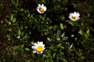 クリサンセマムの開花の写真素材 [FYI04571248]