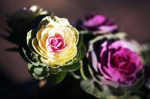 クリーム色と紅色の葉牡丹の写真素材 [FYI04571250]