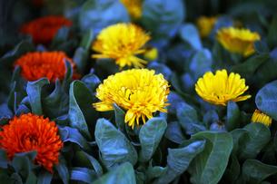 カレンデュラの花の写真素材 [FYI04571315]