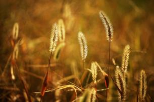 冬の陽だまりに咲くエノコログサの写真素材 [FYI04571320]