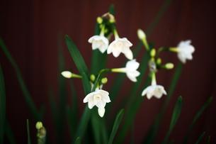 房咲き水仙の開花の写真素材 [FYI04571326]