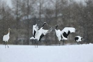雪の中で舞うタンチョウ(北海道・鶴居村)の写真素材 [FYI04571467]