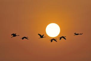 朝日とツル(鹿児島県・出水市)の写真素材 [FYI04571494]