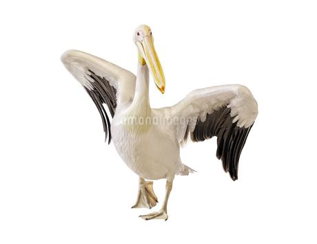 白背景の羽を広げたモモイロペリカンの写真素材 [FYI04572018]