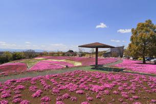 八王子山公園 芝桜の写真素材 [FYI04572241]