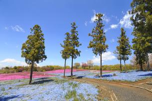 八王子山公園 ネモフィラと芝桜の写真素材 [FYI04572242]