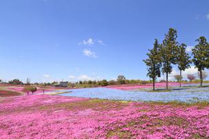 八王子山公園 ネモフィラと芝桜の写真素材 [FYI04572243]