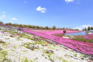 八王子山公園 芝桜の写真素材 [FYI04572246]