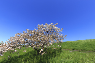 青空と八重桜の写真素材 [FYI04572285]