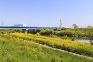 越辺川沿い咲く菜の花の写真素材 [FYI04572288]
