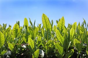 お茶の新芽の写真素材 [FYI04572298]
