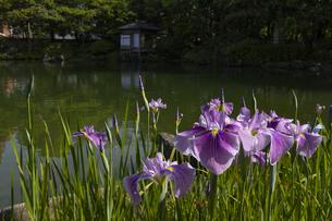 養浩館庭園 花菖蒲の写真素材 [FYI04572967]