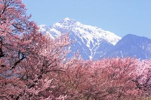 4月 桜と残雪の南アルプスの写真素材 [FYI04573107]