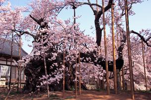 4月 満開の山高神代桜  -山梨の桜-の写真素材 [FYI04573111]