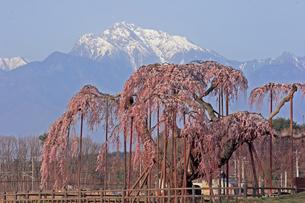 4月 神田(しんでん)の大糸桜  -山梨の一本桜-の写真素材 [FYI04573158]