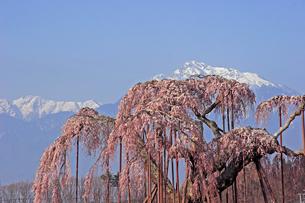 4月 神田(しんでん)の大糸桜  -山梨の一本桜-の写真素材 [FYI04573160]