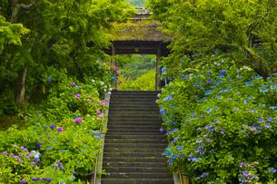 雨の東慶寺・三門と紫陽花の写真素材 [FYI04573240]