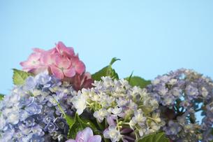 青背景の紫陽花の写真素材 [FYI04573475]