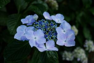 満開の青いヤマアジサイの写真素材 [FYI04573534]