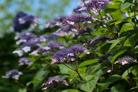 薄赤紫色のヤマアジサイの群生の写真素材 [FYI04573578]