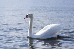 山中湖を泳ぐ白鳥の写真素材 [FYI04573845]