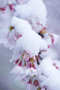 サクラの花を隠す春の雪の写真素材 [FYI04574031]