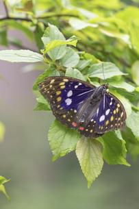開翅するオオムラサキの写真素材 [FYI04574143]