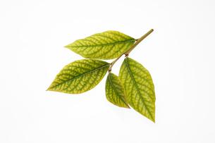 白い背景にブルーベリーの葉の写真素材 [FYI04574156]
