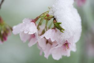 サクラを隠す春の雪の写真素材 [FYI04574361]