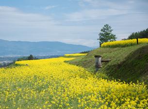 一面に菜の花が植えられた棚田の写真素材 [FYI04574476]