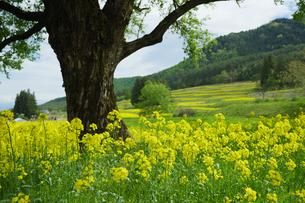 木の下に一面に生える菜の花畑の写真素材 [FYI04574478]