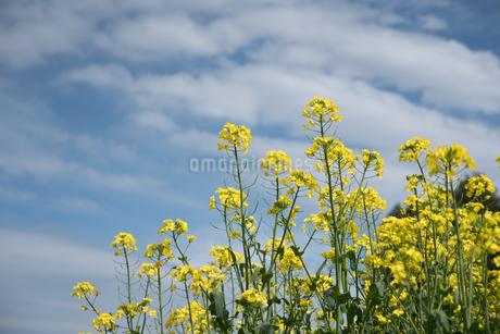 青空に向かって伸びる菜の花の写真素材 [FYI04574479]