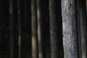 杉の木の木肌の写真素材 [FYI04575231]