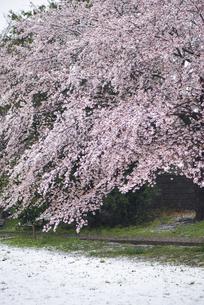 満開の桜に積る春の雪の写真素材 [FYI04575240]