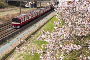 桜並木を走る北総線 白井駅付近の写真素材 [FYI04576048]