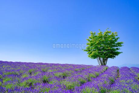 ラベンダーと木の写真素材 [FYI04576155]