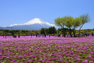 山梨県 富士芝桜まつりの写真素材 [FYI04576190]