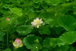 蓮の花の写真素材 [FYI04576408]