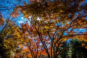 紅葉の隙間に差し込む太陽の光の写真素材 [FYI04576432]