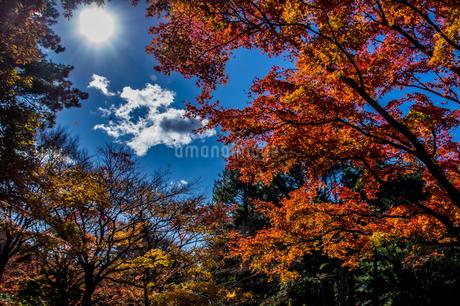 紅葉の隙間に差し込む太陽の光の写真素材 [FYI04576433]