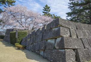 福井城天守跡のソメイヨシノの写真素材 [FYI04577473]